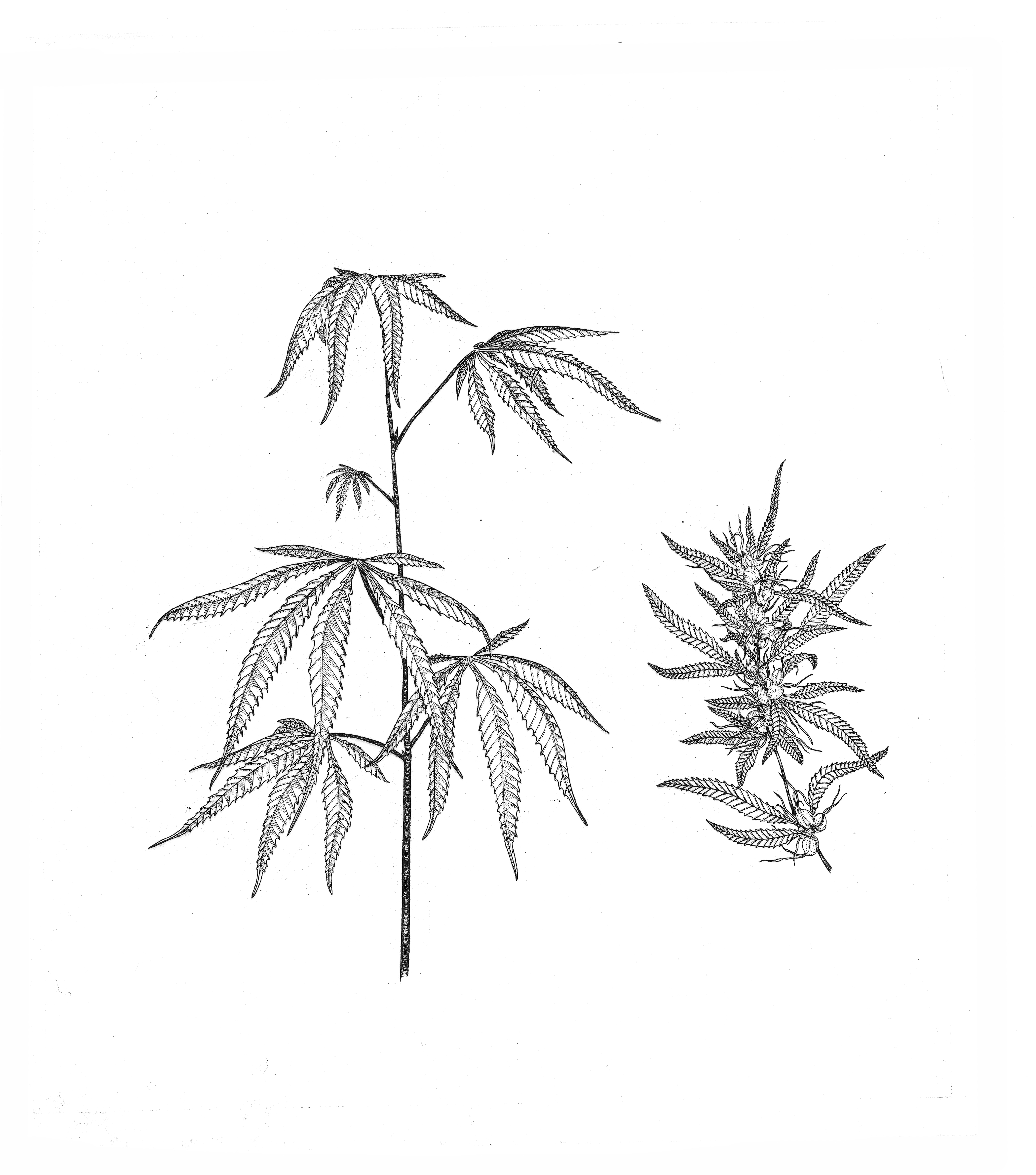 Weed Drawing at GetDrawings | Free download |Weed Plant Drawings